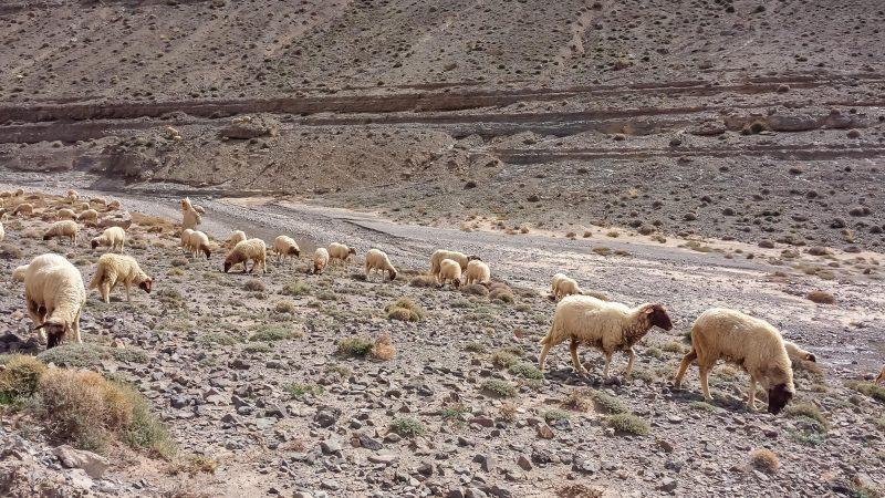 Mouton, mouton, berger, mouton, mouton, mouton...